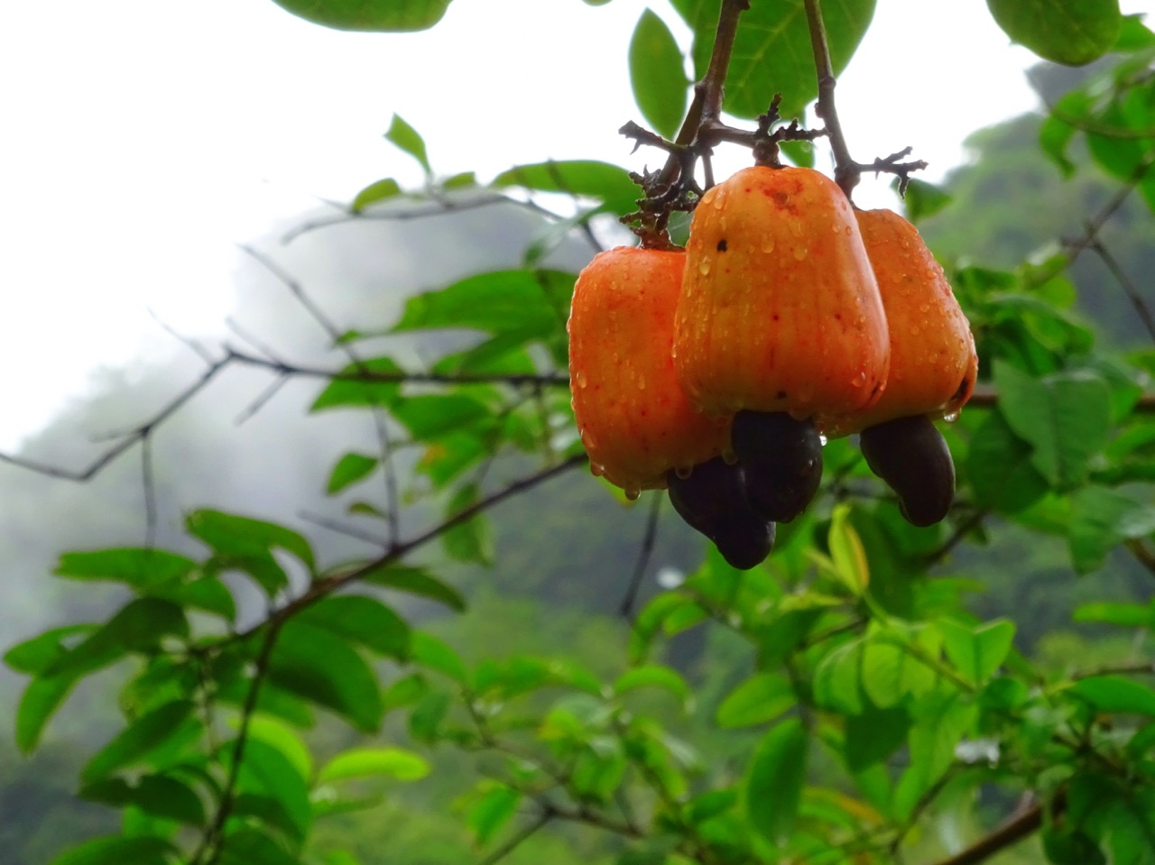 Show the cashew apples of Goa